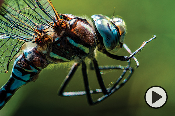 Closeup of a colorful dragonfly.
