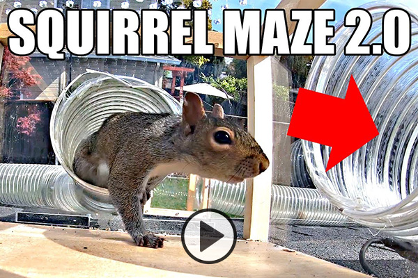A squirrel take a right turn into a tunnel maze as directed by a big red arrow. The text Squirrel Maze 2.0 accompanies the photo.