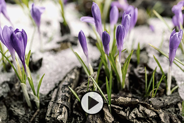 Lavendar crocus bulbs emerge from the soil and melting snow and begin to bloom.